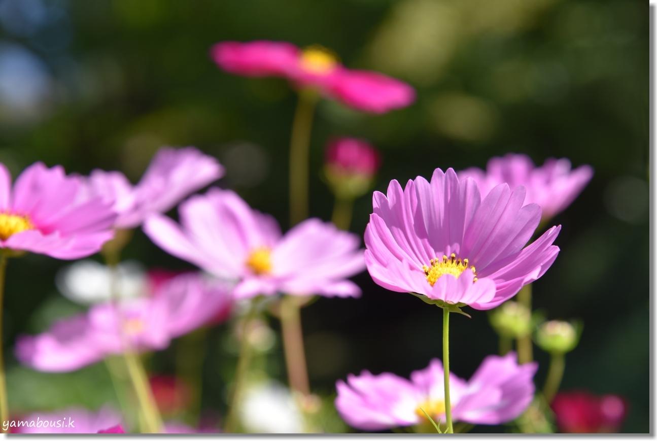 秋桜(コスモス)は秋の風物詩 1