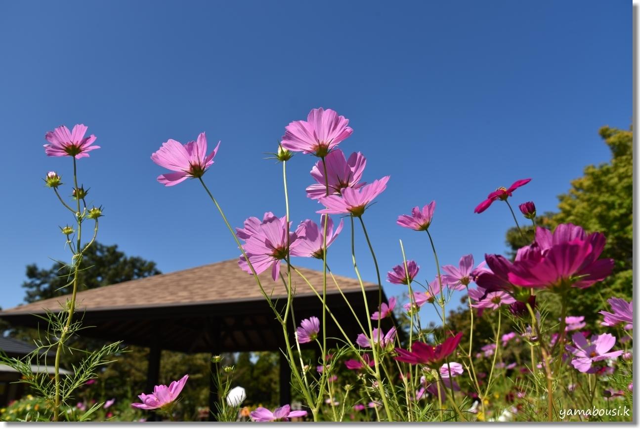 秋の青空とコスモスの咲き始め 5