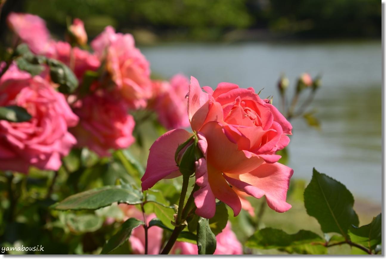 駕与丁公園 春バラ 6