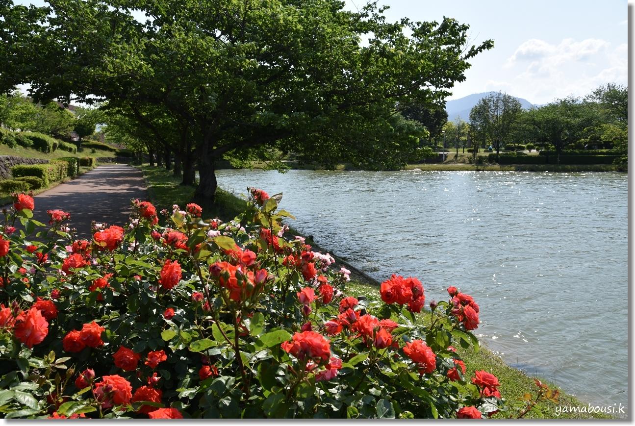 5月の新緑とバラ 駕与丁公園 4