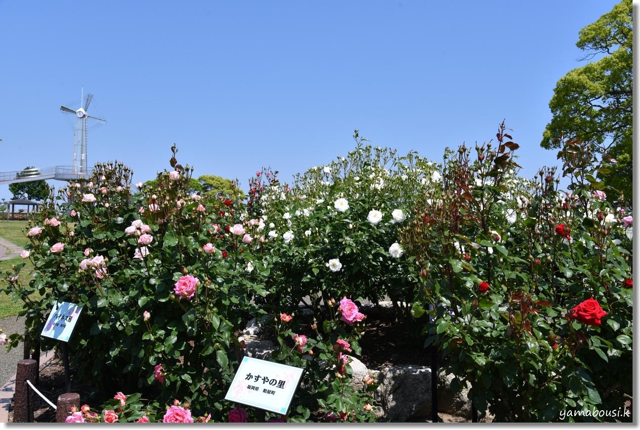 5月の新緑とバラ 駕与丁公園 3