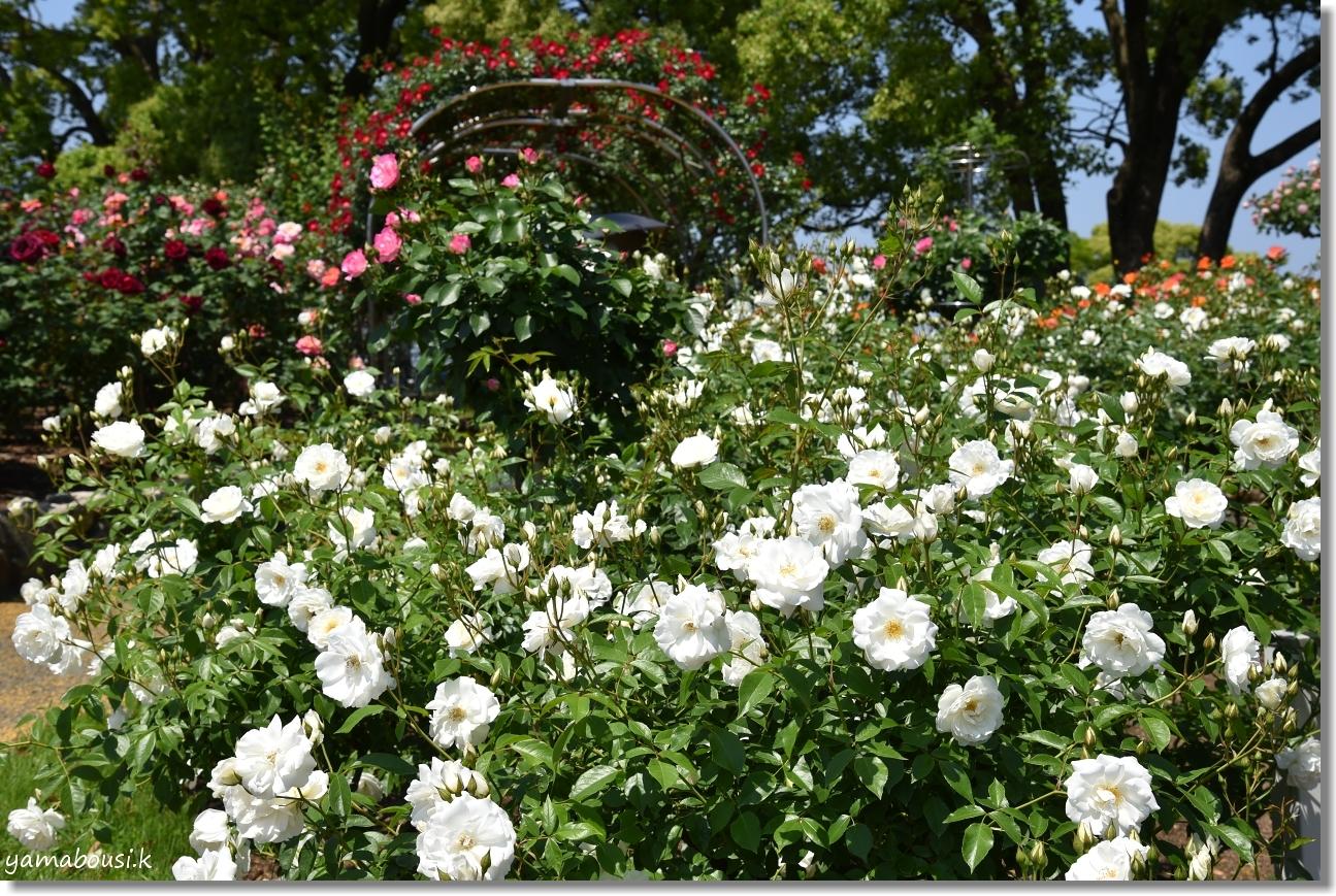 5月の新緑とバラ 駕与丁公園 2