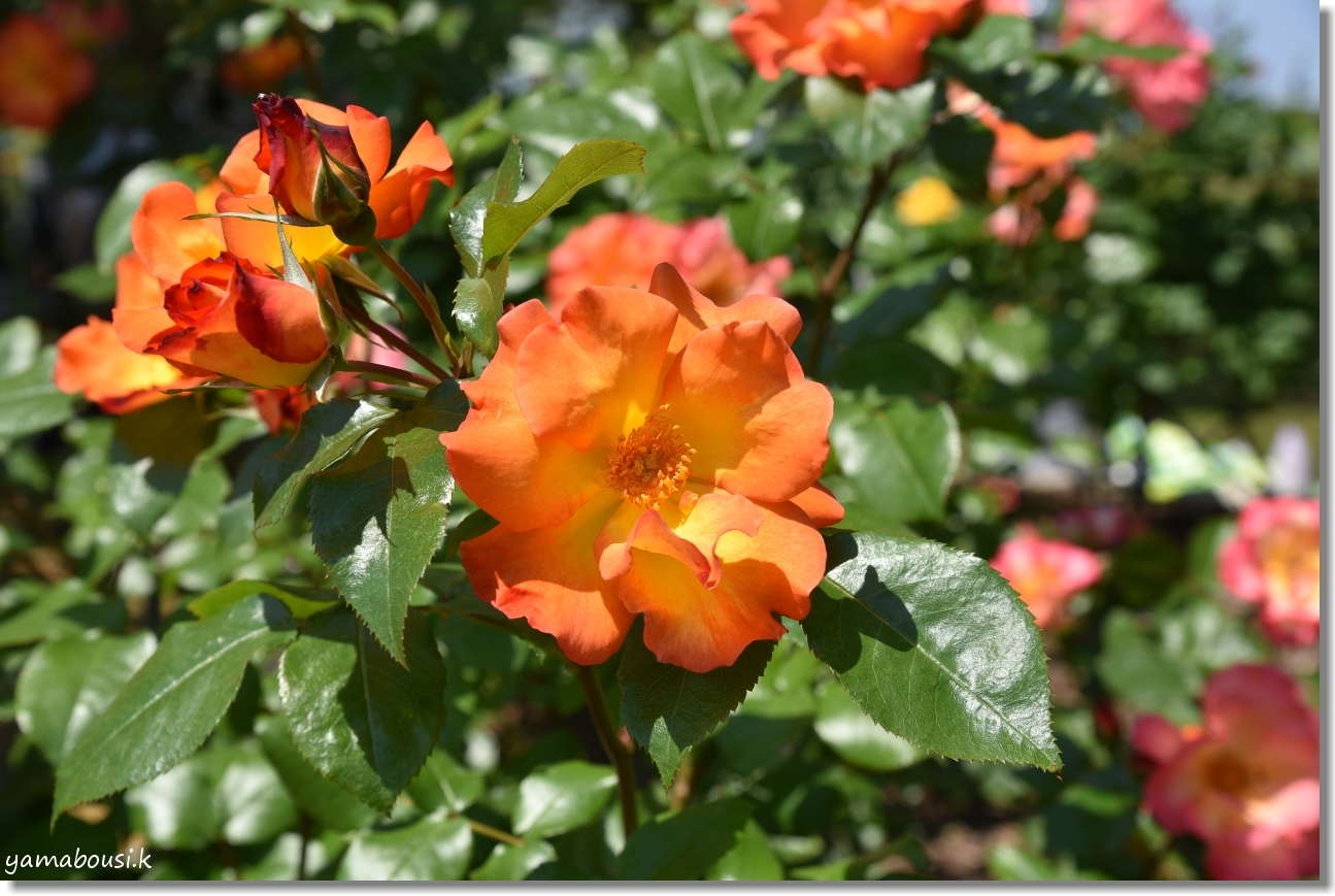 5月の新緑とバラ 駕与丁公園 1