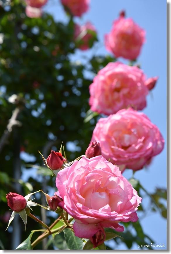 駕与丁公園 春バラ 3