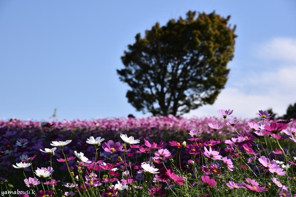 能古島 花の丘のコスモス DSC_5909