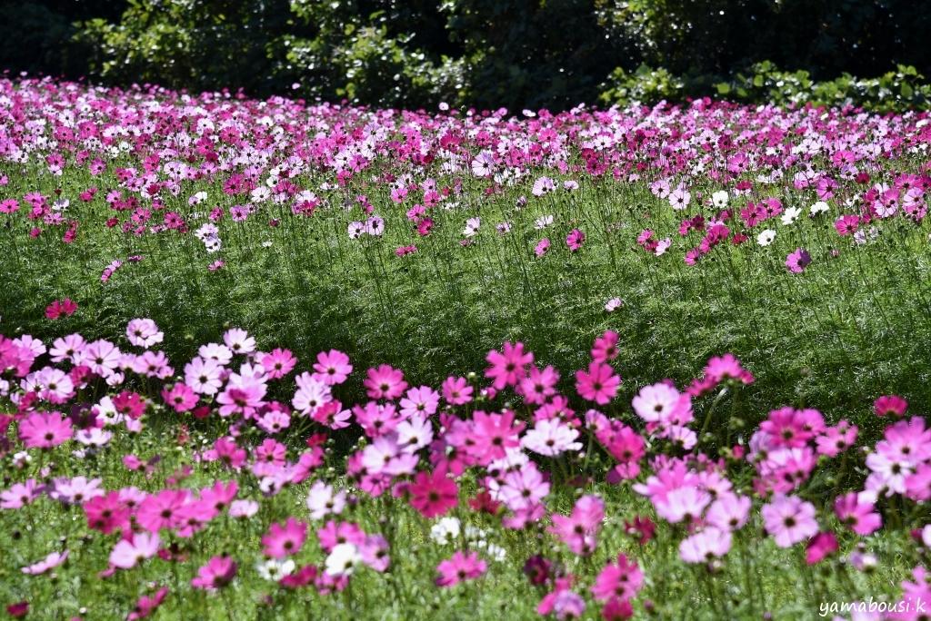 能古島 花の丘のコスモス DSC_5971