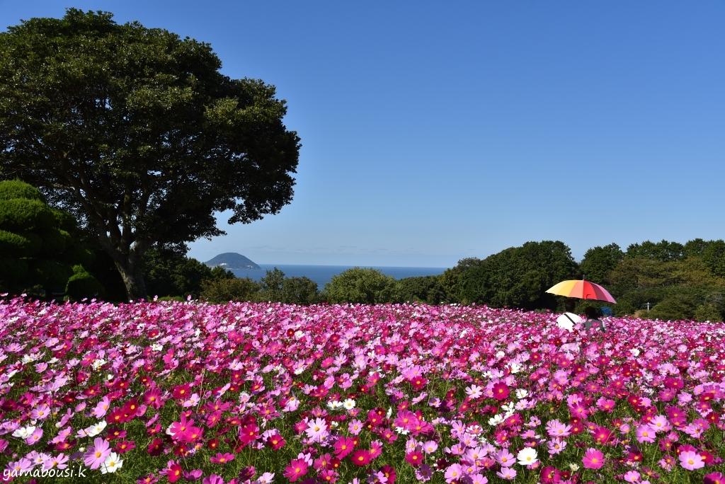 能古島 花の丘コスモス DSC_5984