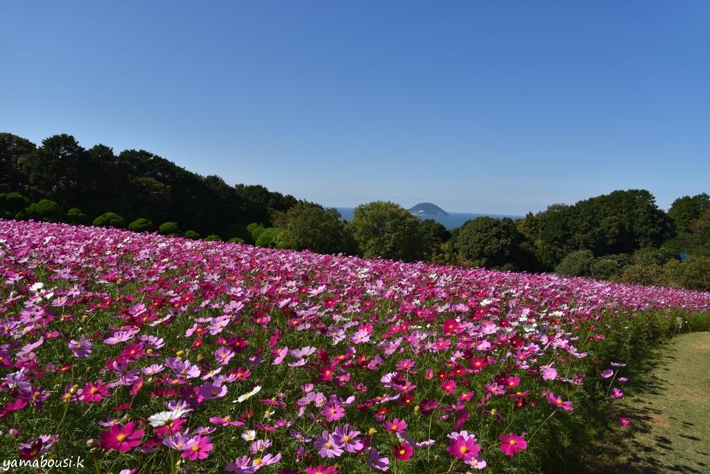 能古島 花の丘のコスモス DSC_6014
