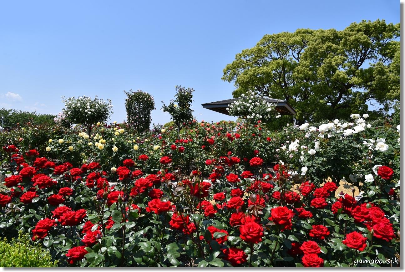 駕与丁公園 春バラ 1