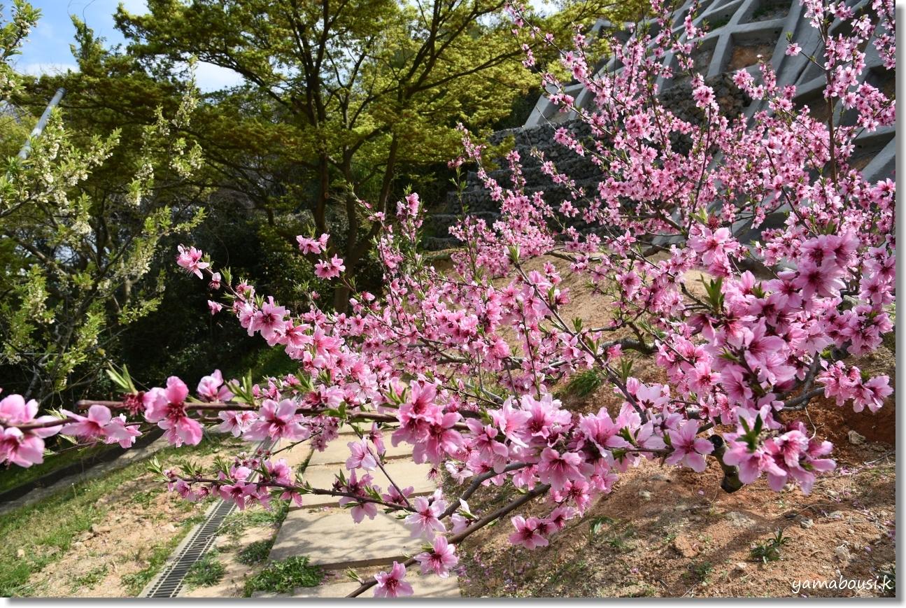 花畑園芸公園 アーモンドと桃の花 1