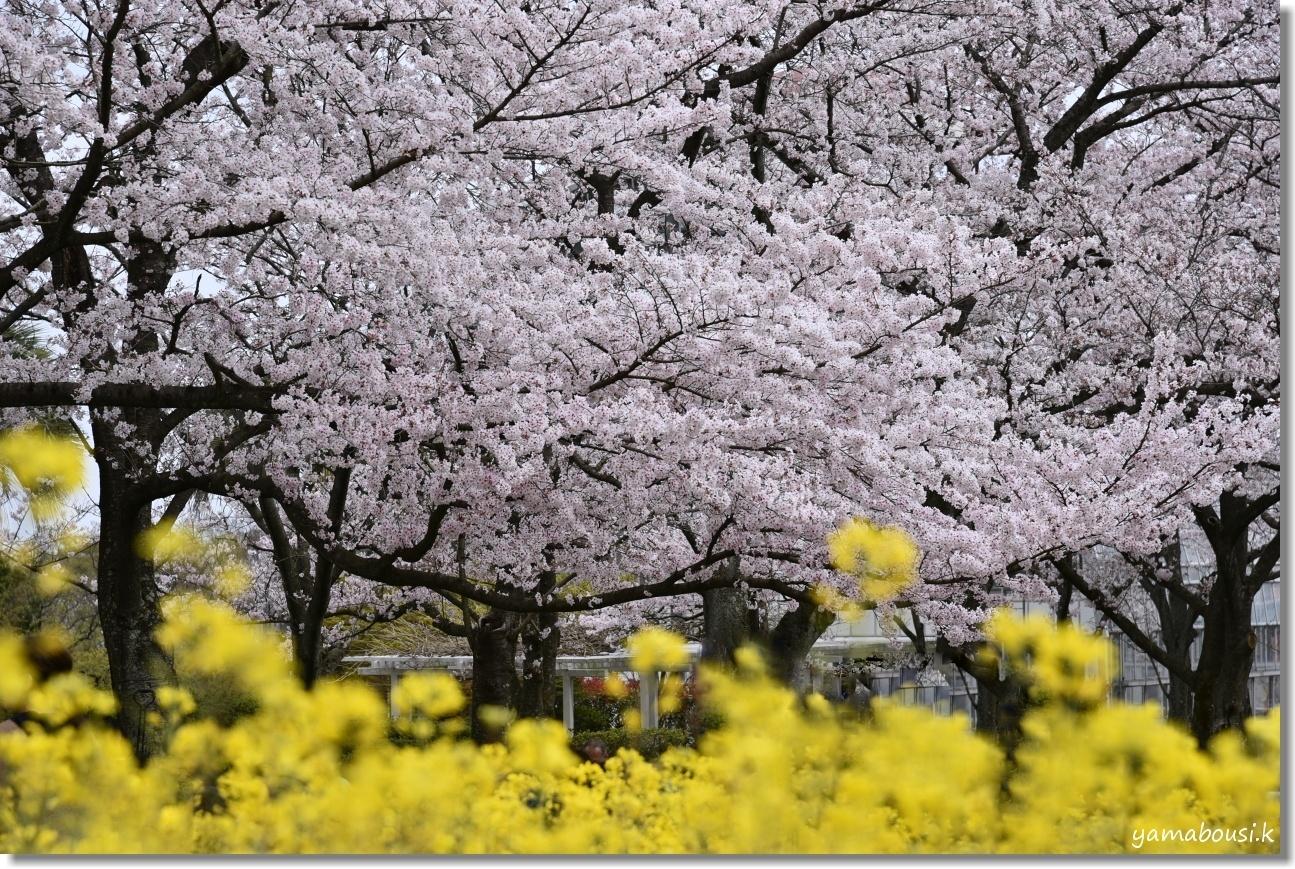花畑園芸公園 桜 4