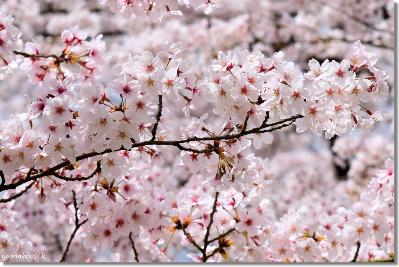 花畑園芸公園 桜 6
