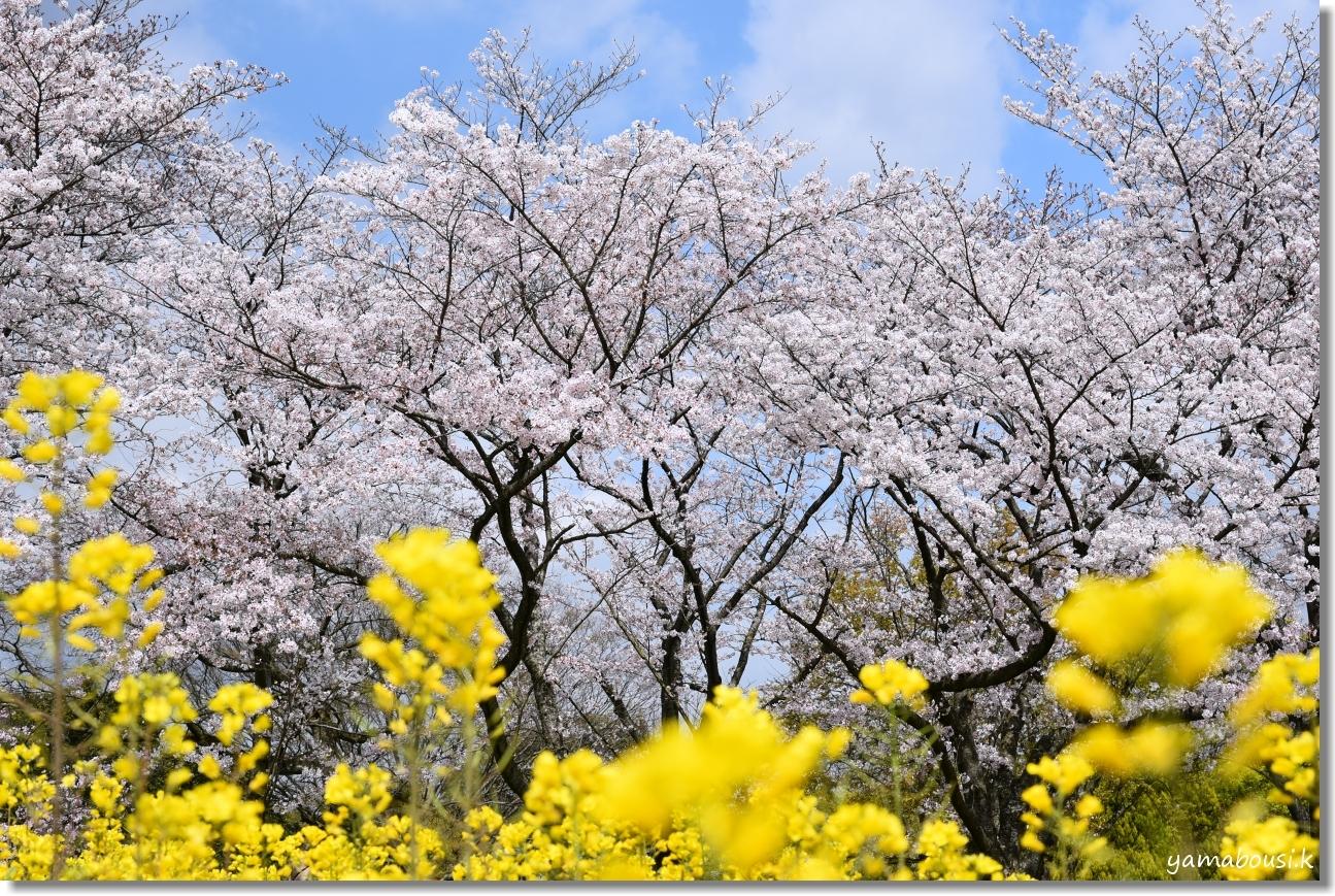 花畑園芸公園 桜 1