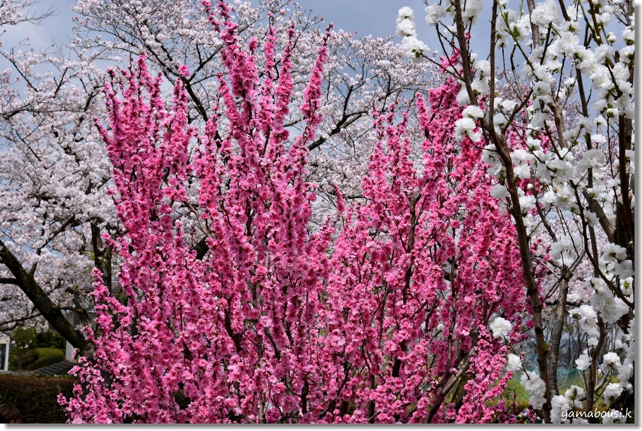 花畑園芸公園 アーモンドと桃の花 4