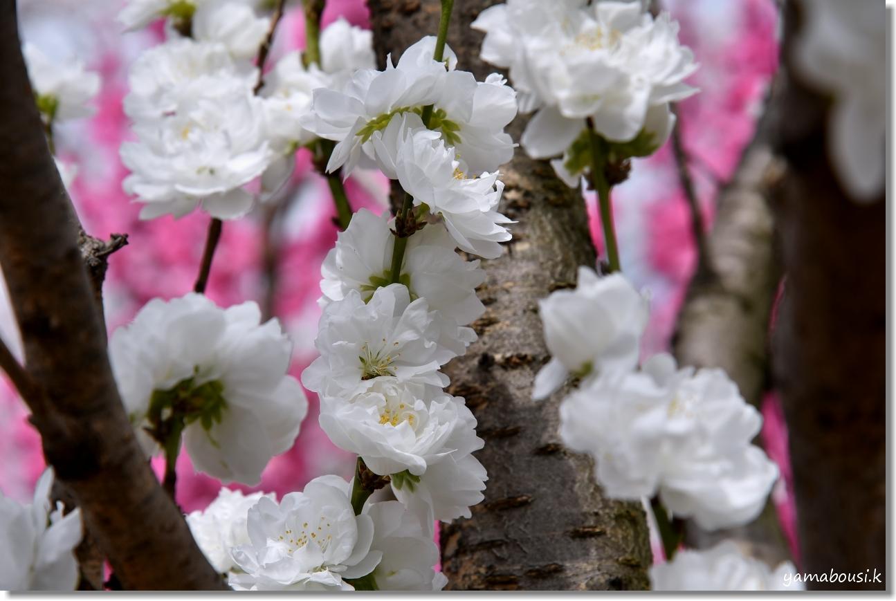 花畑園芸公園 アーモンドと桃の花 6