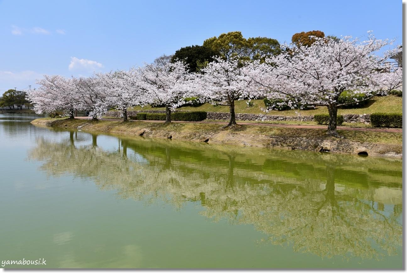 駕与丁公園 桜(ソメイヨシノ) 5