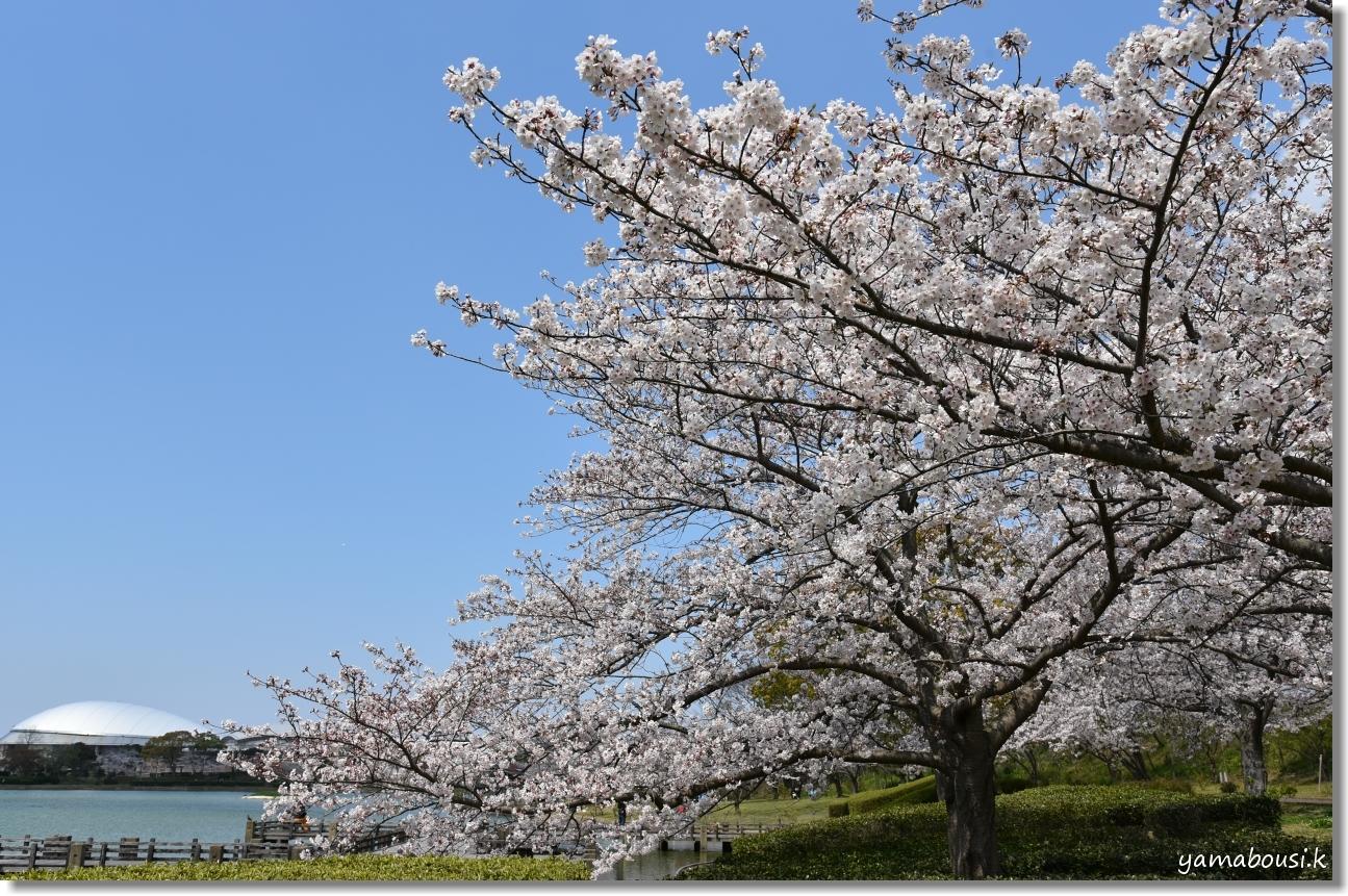 駕与丁公園 桜(ソメイヨシノ) 1