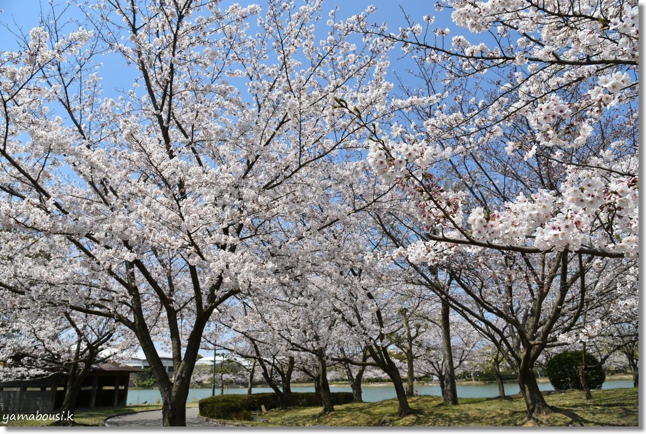 駕与丁公園 桜(ソメイヨシノ) 2