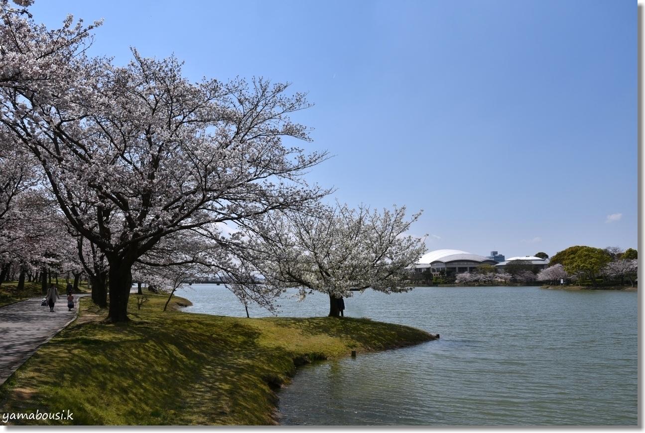 駕与丁公園 桜(ソメイヨシノ) 4