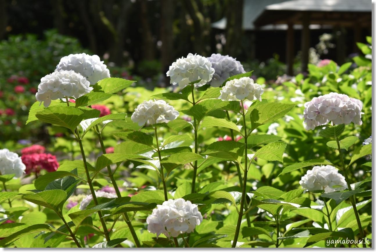 駕与丁公園 桜(ソメイヨシノ) 7
