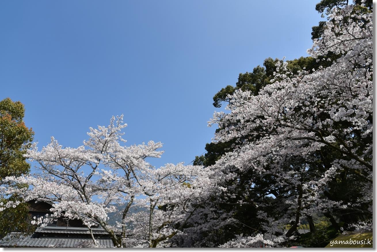 秋月城下町の桜(2019)2