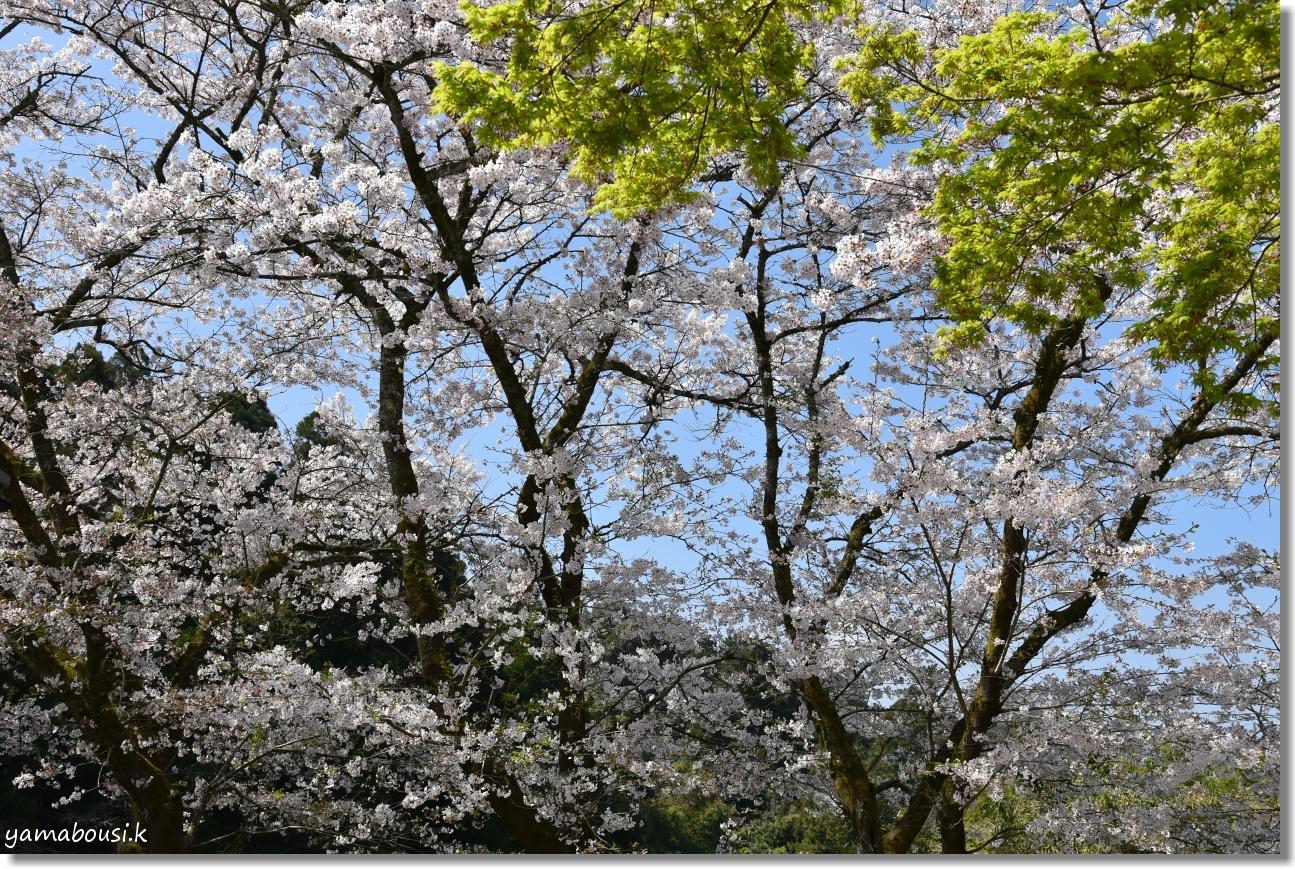 秋月城下町の桜(2019)3
