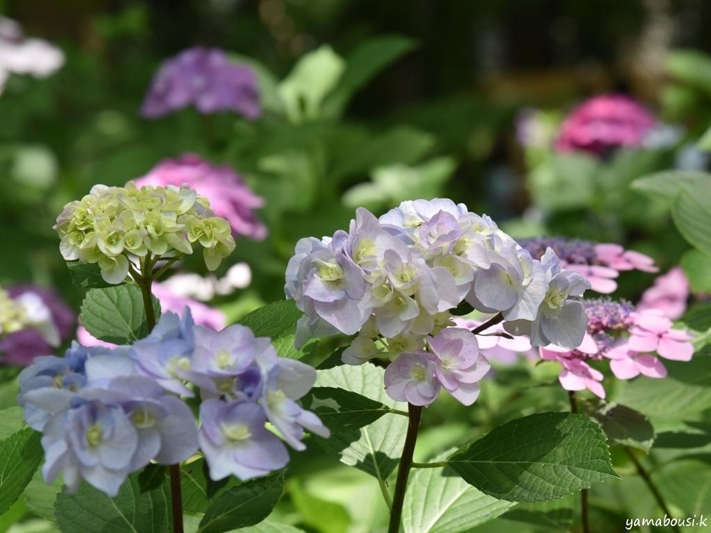 土曜日の紫陽花
