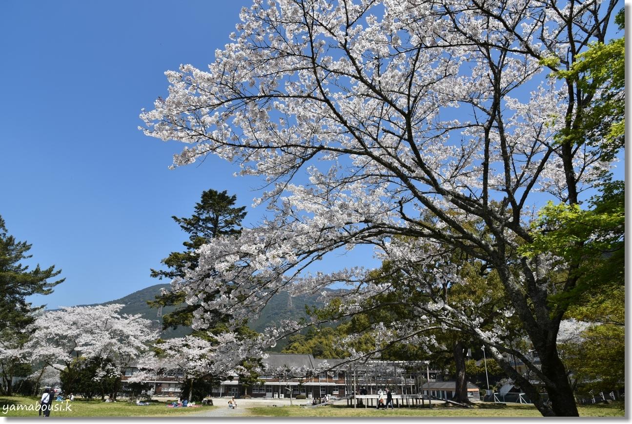 秋月城下町の桜(2019)4