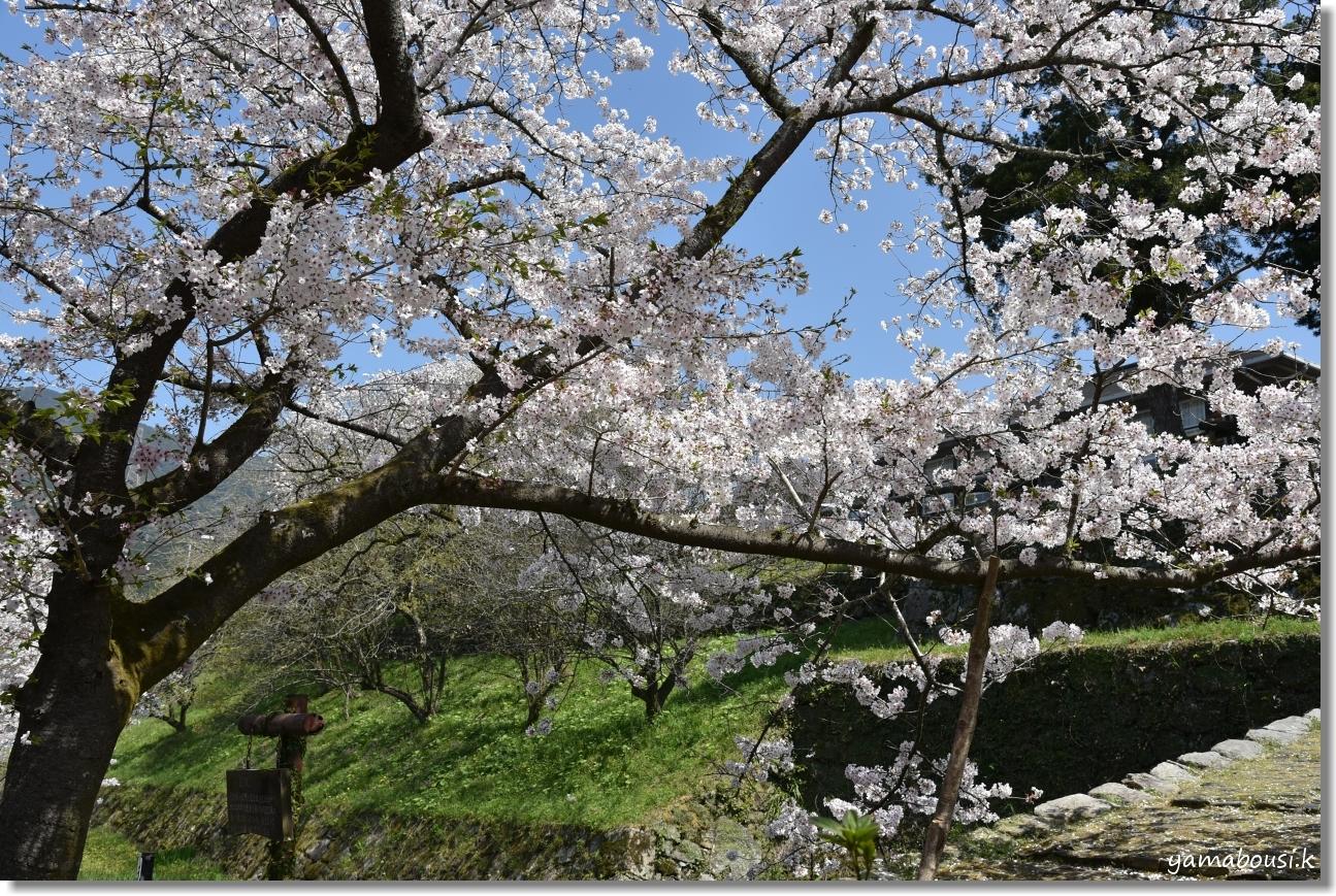 秋月城下町の桜(2019)5