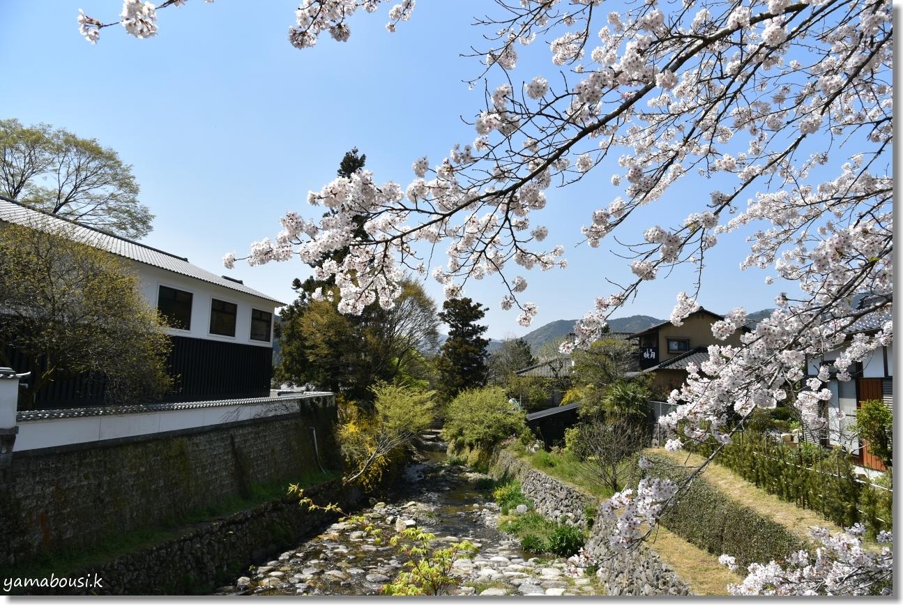 秋月城下町の桜(2019)7
