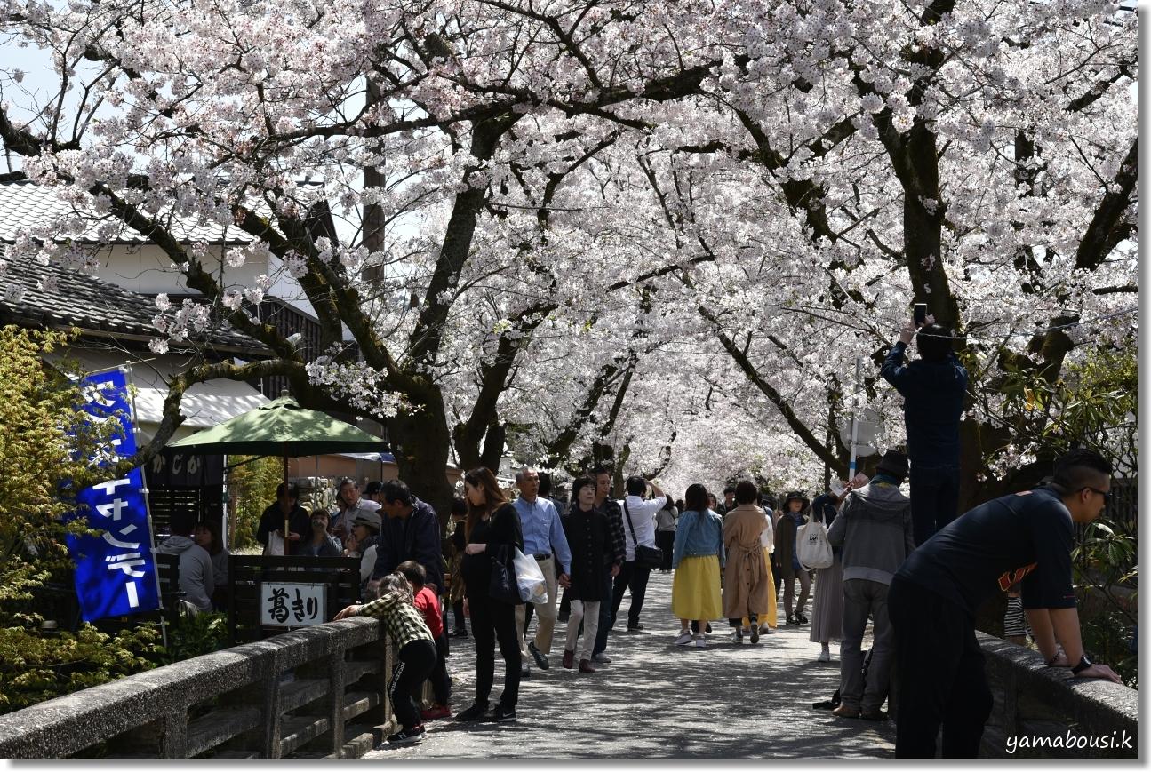 秋月城下町の桜(2019)8