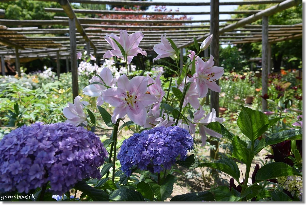 神苑花庭園 ユリの花と新緑 7