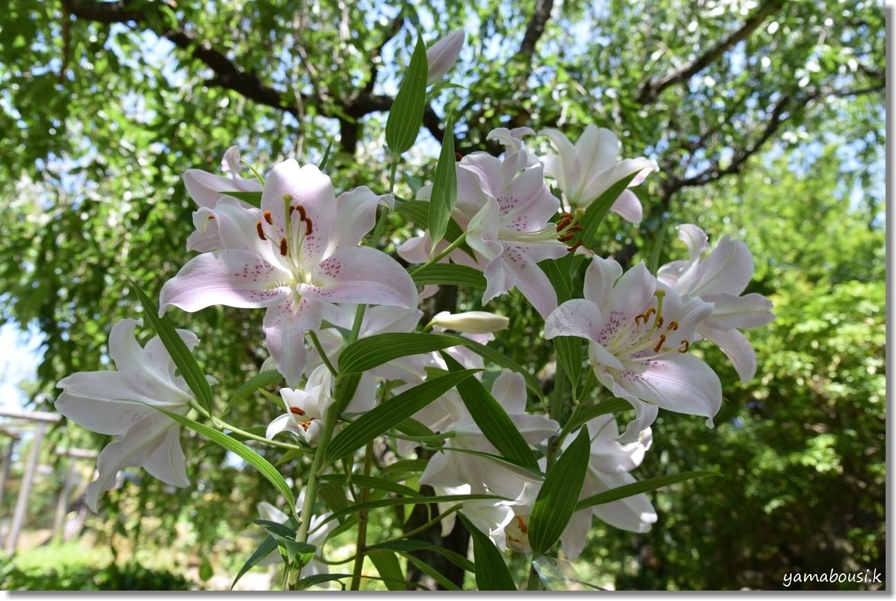 神苑花庭園 ユリの花と新緑 1
