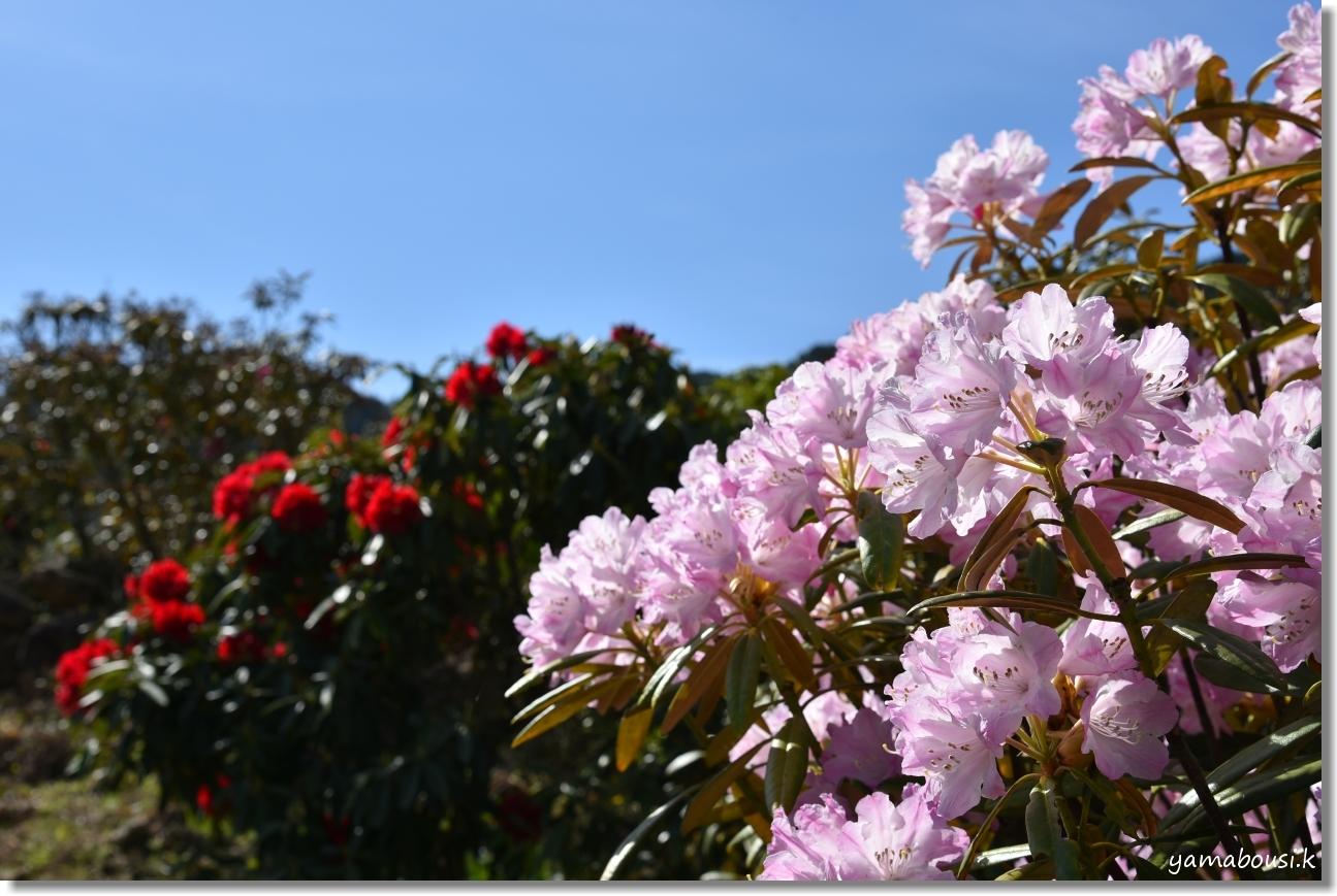 星の花公園 シャクナゲ 咲き始め 2