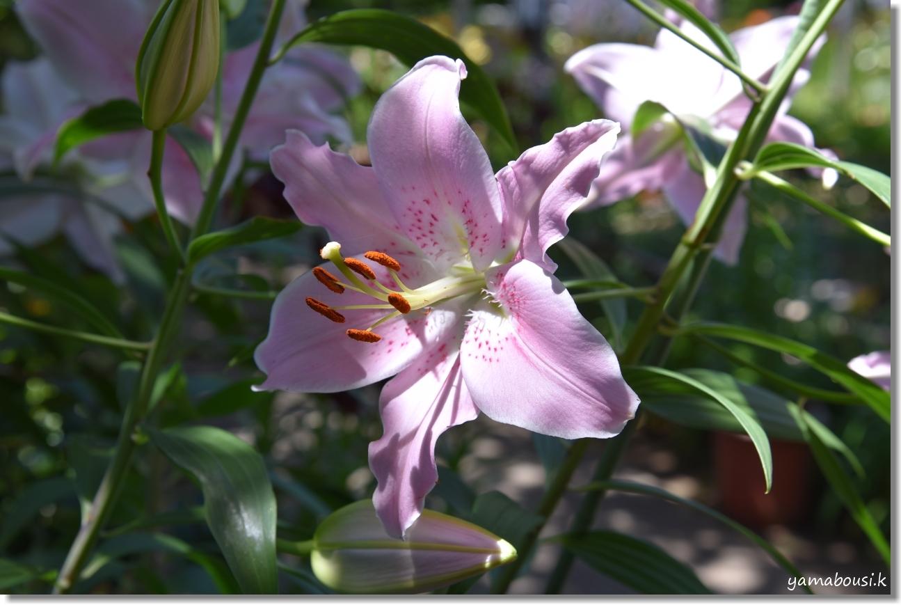 神苑花庭園 ユリの花と新緑 3