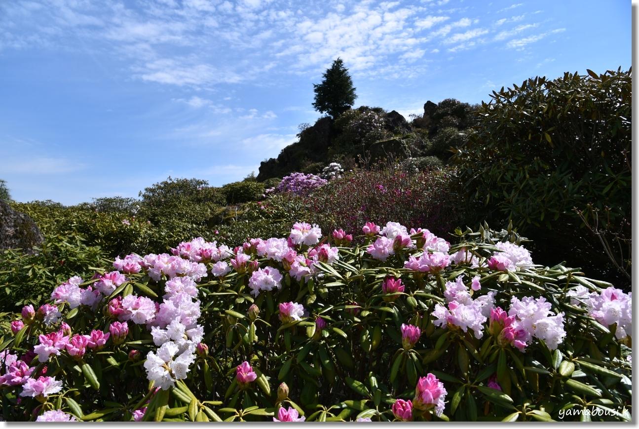 星の花公園 シャクナゲ 咲き始め 1