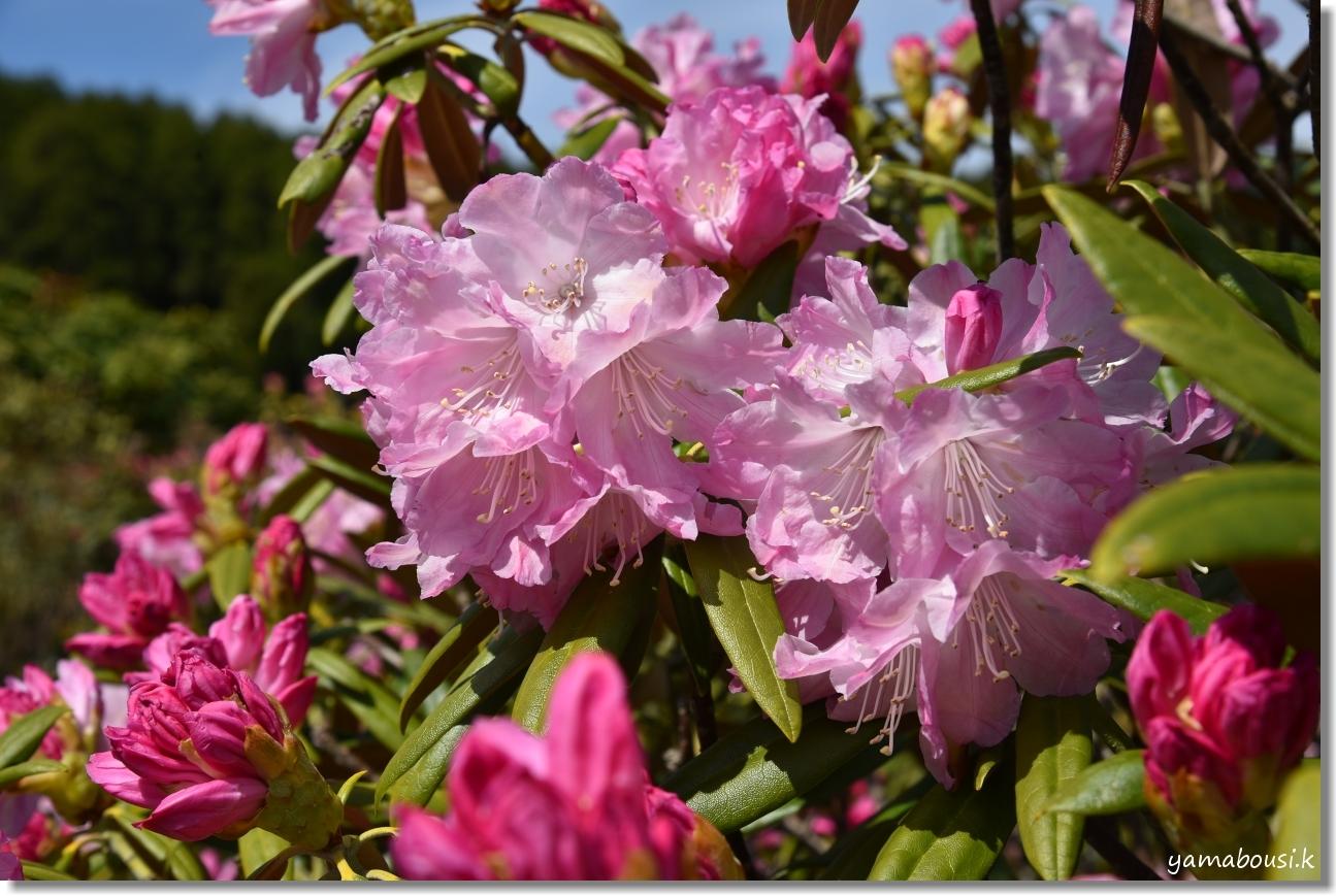星の花公園 シャクナゲ 咲き始め 3