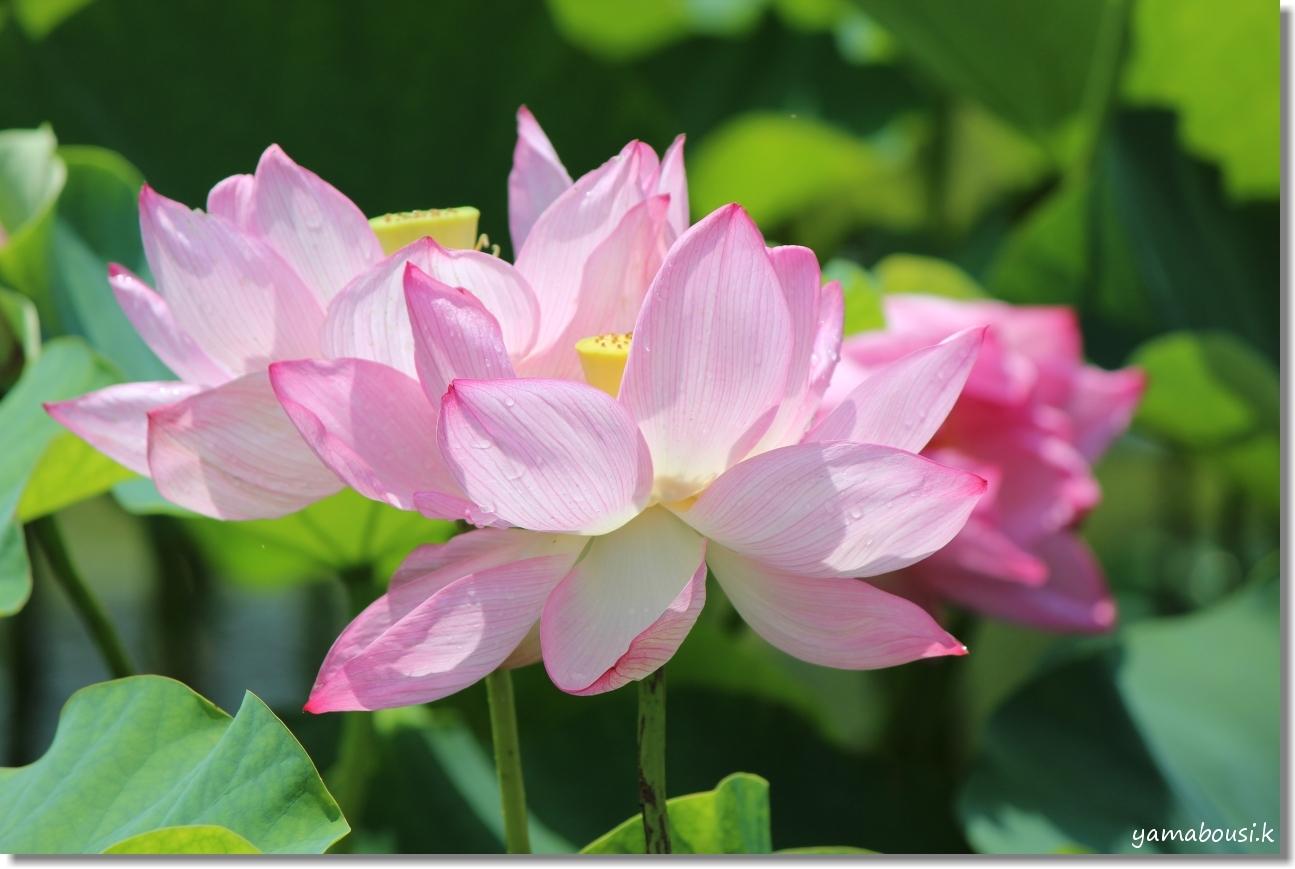 暑い夏 蓮の夏 桃色の花 3