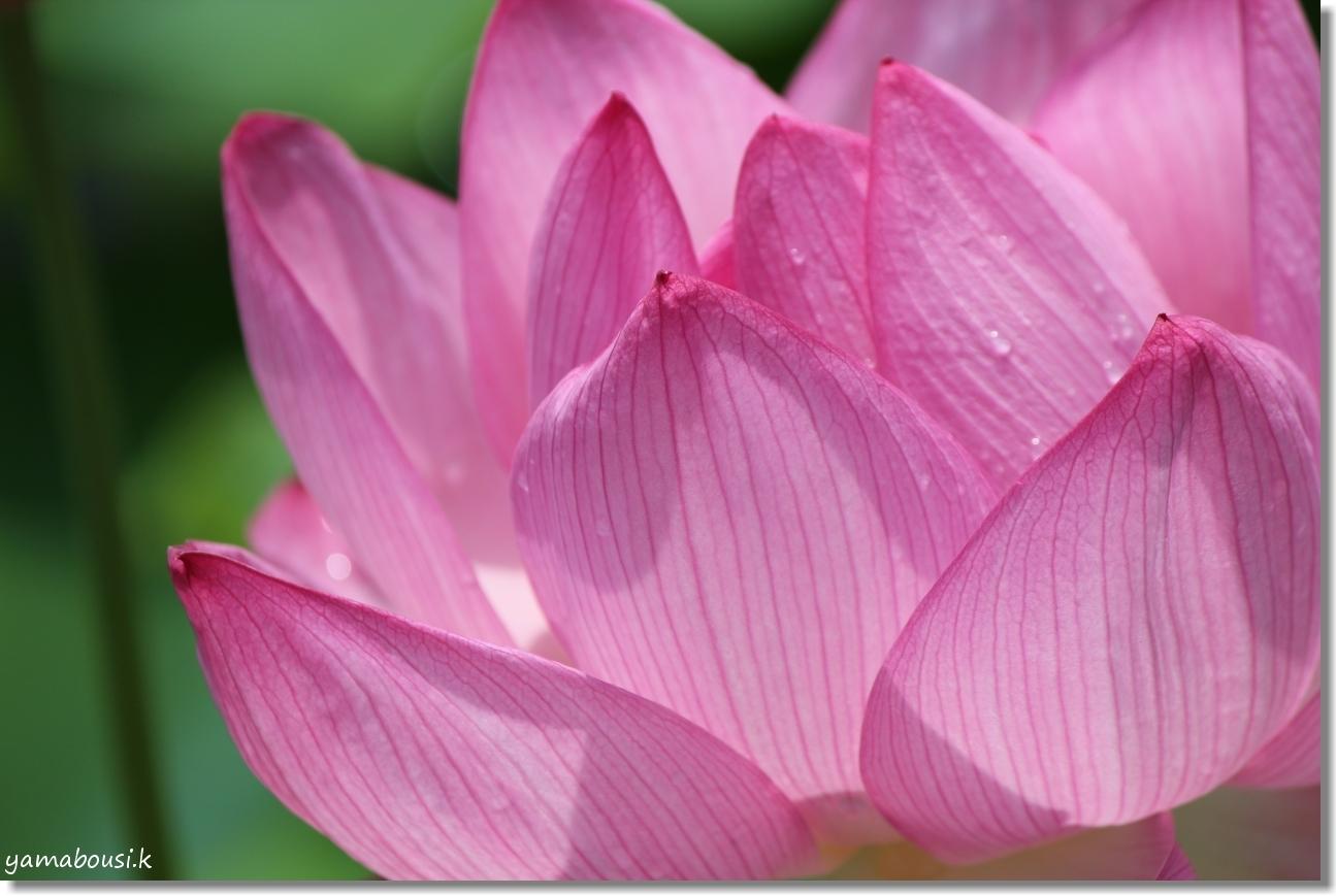 暑い夏 蓮の夏 桃色の花 4