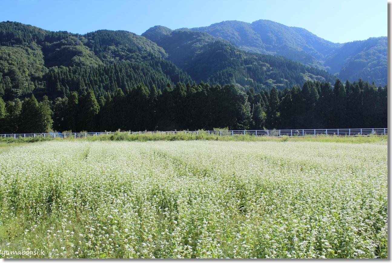 白山ろく 蕎麦の花とキバナコスモス