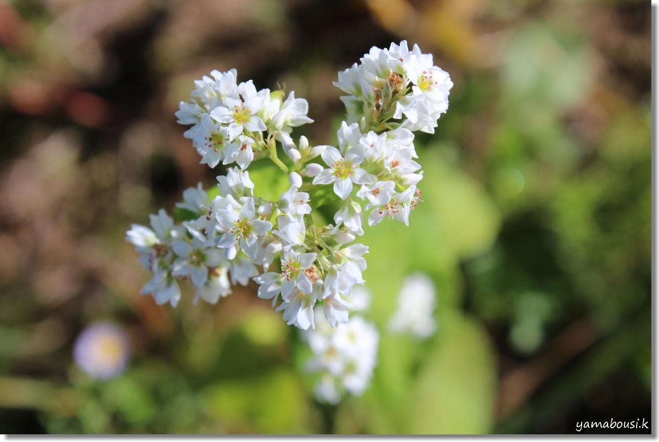 白山ろく 蕎麦の花とキバナコスモス 1