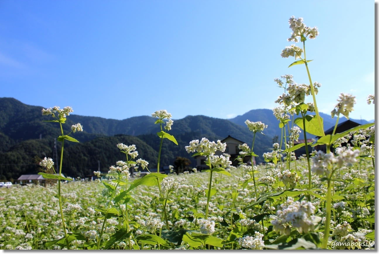 白山ろく 蕎麦の花とキバナコスモス 4