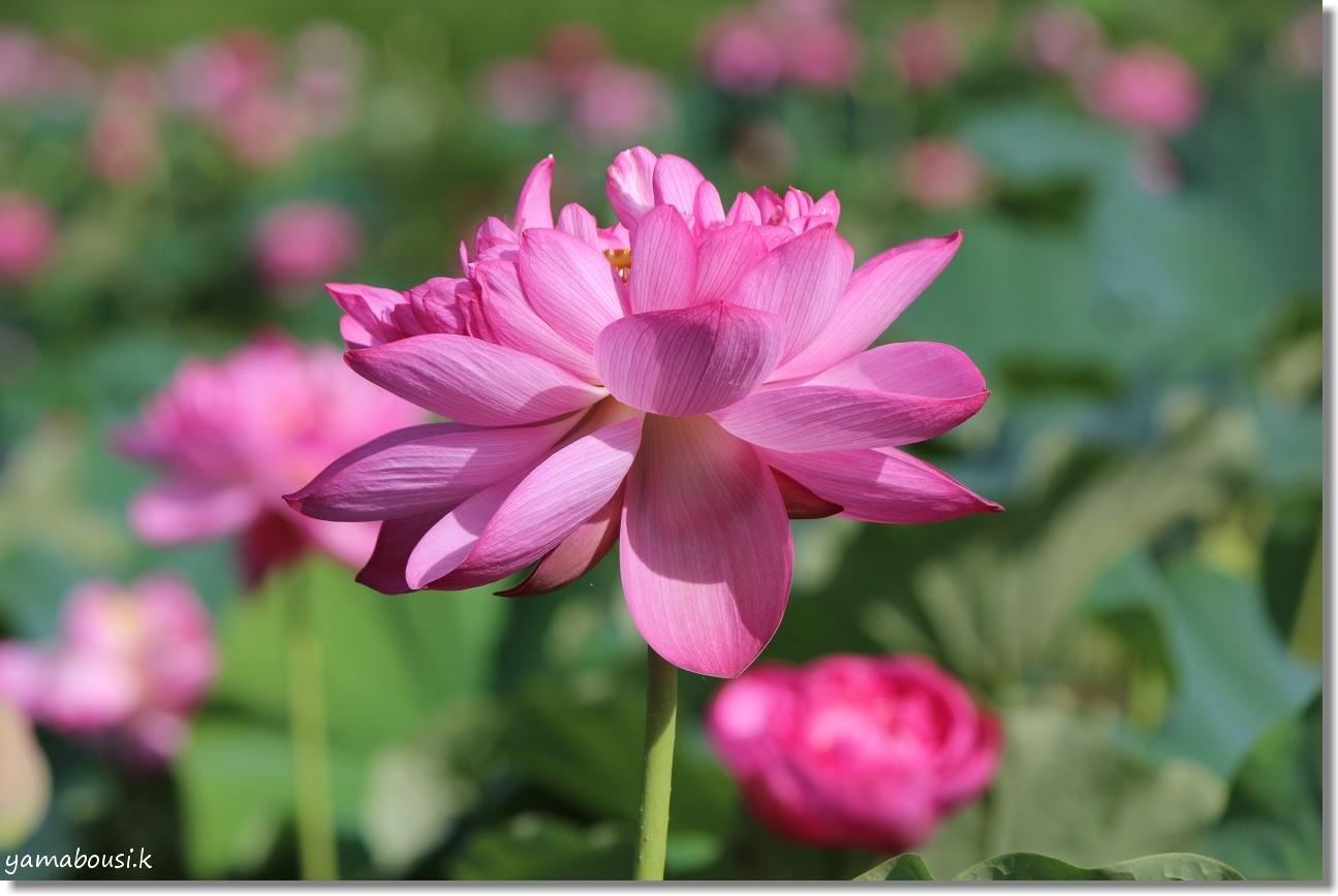 八重の蓮はピンク色 3