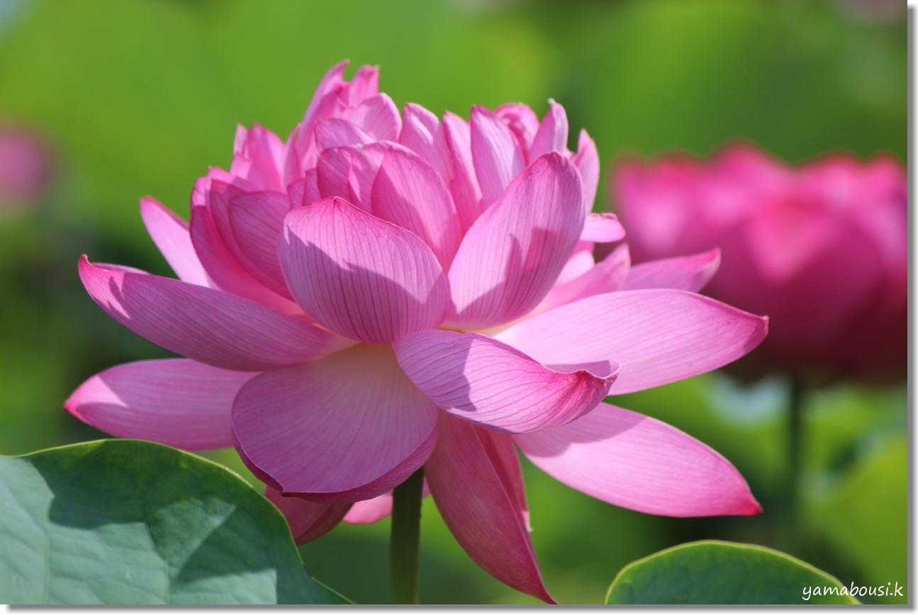 八重の蓮はピンク色 4