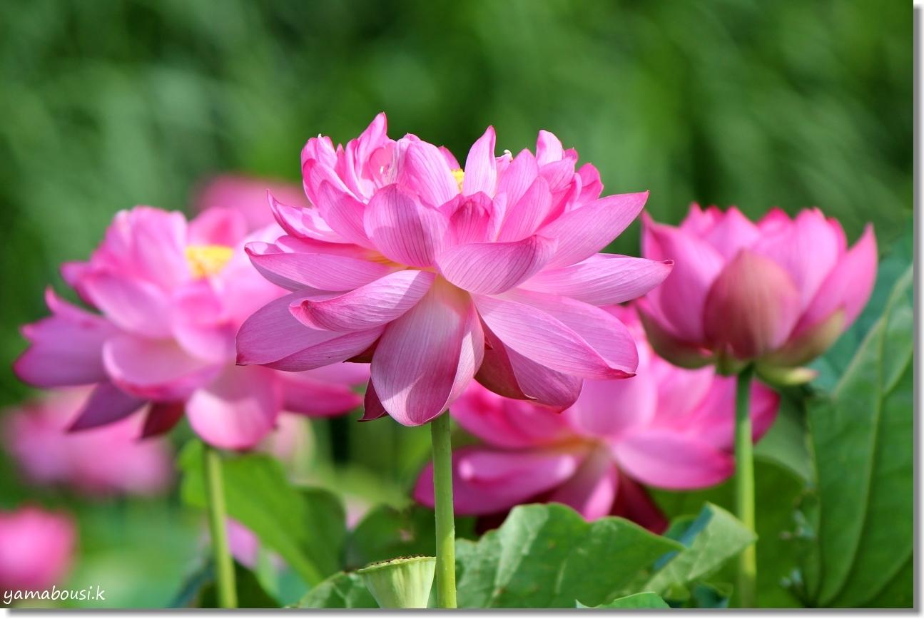 八重の蓮はピンク色 5