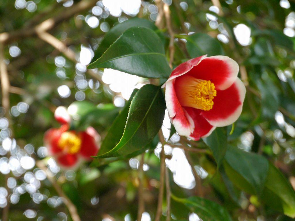 「大分農業文化公園(大分県杵築市)」レンタサイクルで楽しむ!椿まつり&梅などなど盛り沢山