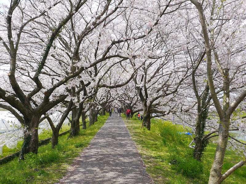 「流川の桜並木(福岡県うきは市) 」2kmにわたる桜のトンネルは圧巻!