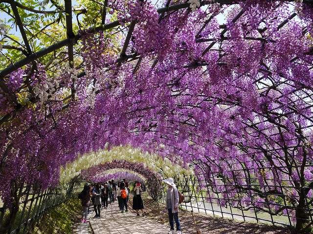 「河内藤園(北九州市八幡東区)」世界の絶景!藤のトンネルと広大な藤棚