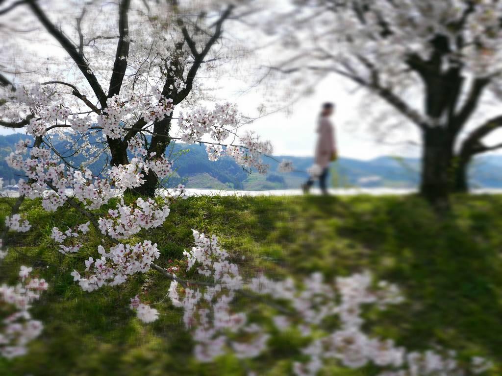 北九州発!日帰りお花見スポット☆絶品蕎麦と福岡の桜トンネル巡り