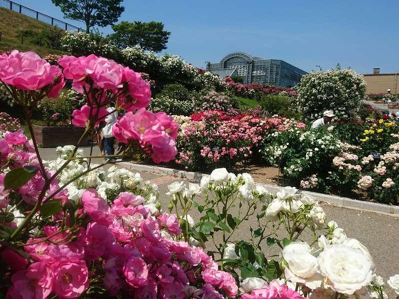 「グリーンパーク バラ園(北九州市若松区)」年2回開催のバラフェア!美しいです。